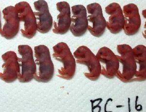 Uzayda 5 yıl saklanan fare spermlerinden 'uzay yavruları' üretildi