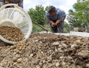 Eski gelenek geri dönüyor! En değerli tarım ürünlerinden biri olan salep Buca'da tekrar üretilmeye başlayacak