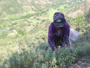 Ganos Dağı eteklerinden topladıkları ada çayını, 7 ülkeye ihraç ediyorlar