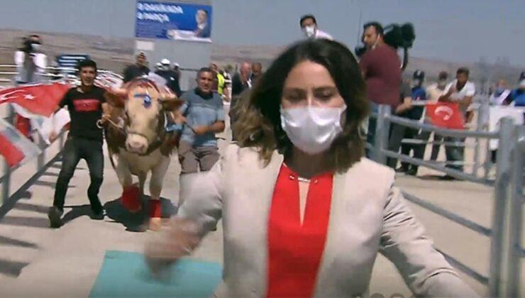Muhabir, 850 kiloluk dev kurbanlık tosunun altına kalmaktan son anda kurtuldu