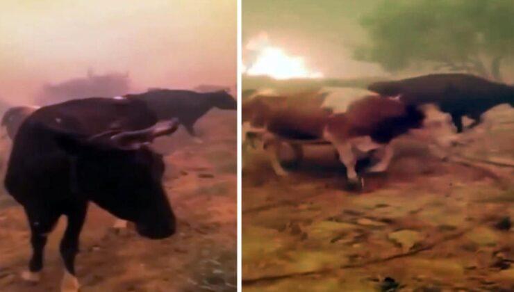 Yangının ortasında kalan hayvanlarına böyle yalvardı: Ne olursunuz gitmeyin