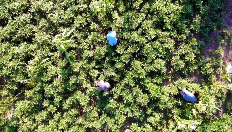 'Çeyrek altın' olarak nitelendirilen bamyada hasat başladı! Kurusunun kilosu 200 lira