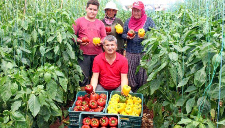 Mersin'de deneme amacıyla ekilen paprika biberinin kilosu 13 liradan satılıyor