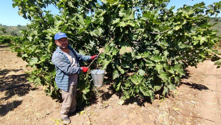 İhracatçı firmalar, dünyaca ünlü siyah incirin fiyatını 30 liradan 12 liraya düşürünce çiftçiler isyan etti