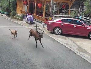Dört odacıklı midesiyle bilimin incelediği vahşi sika geyiği, Çin'de köpekten kaçarken görüldü